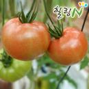 당일수확후 발송 찰 토마토 5kg (3~4번/중과)