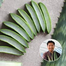 [산지장터] 경남 울산 권도영님의 껍질째 먹는 유기농 알로에 사포나리아 3kg